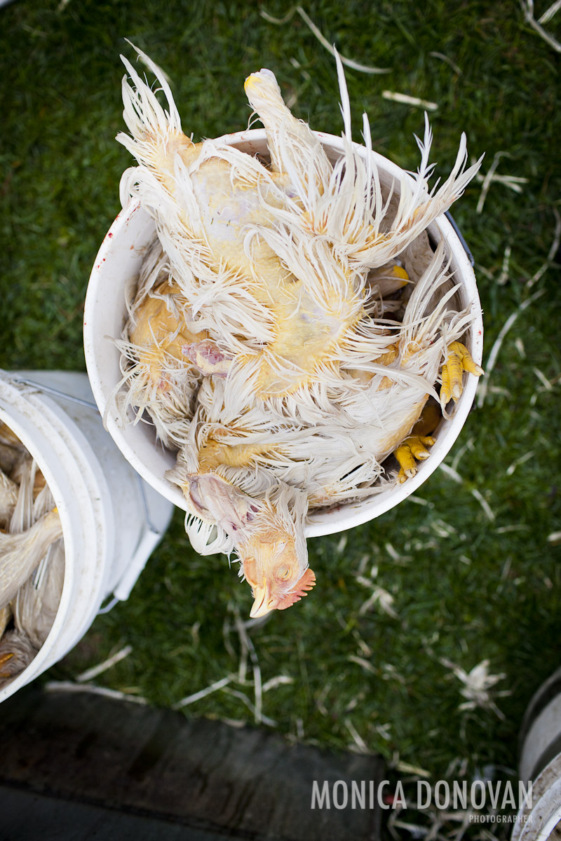 Vermont photographer and photojournalist monica donovan - chicken slaughter at sterling college in craftsbury common vt