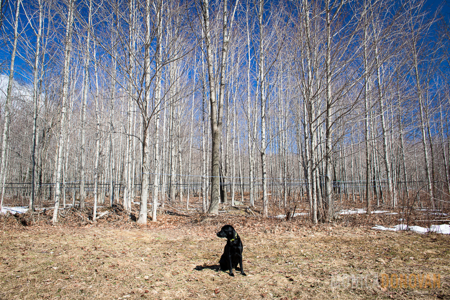 Black lab dog in front of sugarbush in Enosurg, Vermont